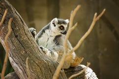 Zuchwały lemur Fotografia Stock