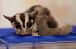 Zucker-astraliysky Opossum sitzt auf der netten Zelle Stockbild