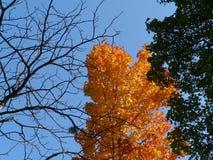 Zuckerahorn oder Felsenahornbaum in den Herbstfarben Stockfotografie