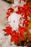 Zuckerahornbaumast mit frischem Schnee Lizenzfreie Stockfotos