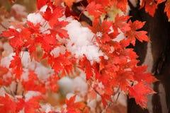 Zuckerahornbaumast mit frischem Schnee Stockbild