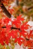 Zuckerahornbaumast mit frischem Schnee Lizenzfreie Stockfotografie