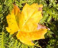 Zuckerahornblatt auf Immergrün Lizenzfreie Stockfotografie