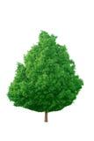 Zuckerahornholz Stockfoto