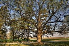 Zuckerahornholz morgens Stockbild