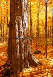 Zuckerahornholzbäume Lizenzfreie Stockbilder