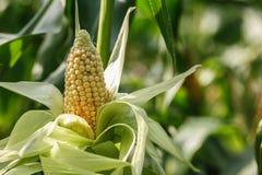 Zuckermais auf dem Gebiet Stockbilder