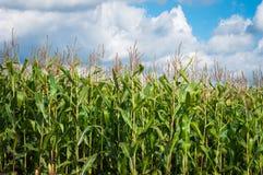 Zuckermaisplantage Lizenzfreies Stockfoto