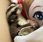 Zuckeropossum, das friedlich schläft Lizenzfreies Stockbild