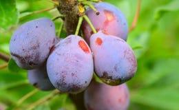 Zuckerpflaumen in einem Obstgarten Lizenzfreies Stockbild