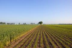 Zuckerrübe und Weizen Stockbilder