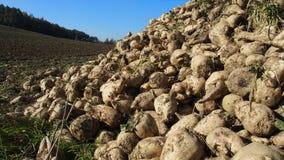 Zuckerrübenernte im Herbst lizenzfreies stockfoto