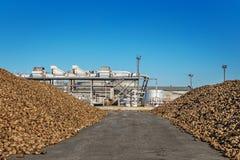 Zuckerrübenstapel des Feldes nach der Ernte vor der Verarbeitung Stockfoto