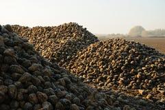 Zuckerrübestapel auf Feld Stockfoto