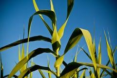 Zuckerrohr Lizenzfreies Stockfoto