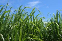 Zuckerrohr Lizenzfreies Stockbild