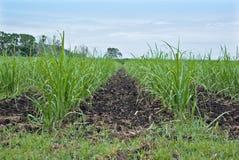 Zuckerrohr auf dem Gebiet Lizenzfreie Stockfotografie