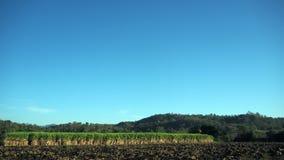Zuckerrohr, das auf ländlichen Gebieten bewirtschaftet lizenzfreie stockfotos