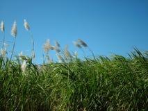 Zuckerrohr-Feld Stockfotos