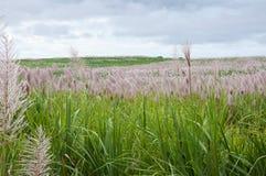 Zuckerrohr-Feld Lizenzfreie Stockbilder