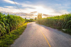 Zuckerrohr-Feldlandschaft Lizenzfreies Stockfoto