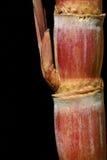 Zuckerrohr getrennt auf einem schwarzen Hintergrund Stockfotos