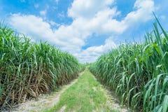 Zuckerrohr im Ackerland Lizenzfreie Stockfotos