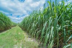 Zuckerrohr im Ackerland Stockfotografie