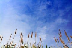 Zuckerrohr mit blauem Himmel Lizenzfreie Stockfotografie