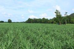 Zuckerrohr-Plantage mit blauem Himmel und Wolke. Lizenzfreies Stockbild