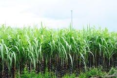 Zuckerrohrbauernhof Stockfoto