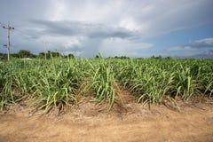 Zuckerrohrbauernhof mit blauem Himmel Stockfotos