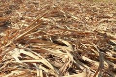 Zuckerrohrblätter Stockfotografie