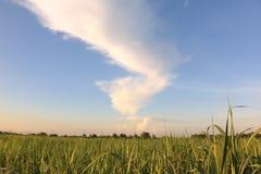 Zuckerrohrernte auf dem Gebiet mit Sonnenaufganghimmel Stockfoto
