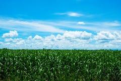 Zuckerrohrfeld mit blauem Himmel und Wolke Stockfotos