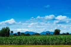 Zuckerrohrfeld mit blauem Himmel und Wolke Lizenzfreie Stockfotografie