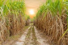 Zuckerrohrfeld mit Sonnenuntergang oder Sonnenaufgang Stockbild