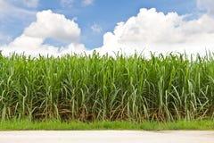 Zuckerrohrfeld und bewölkter Himmel Stockfoto