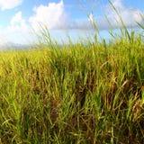 Zuckerrohrfelder des Heiligen Kitts lizenzfreie stockfotos