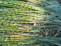 Zuckerrohrhintergrund Stockbild