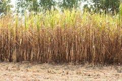 Zuckerrohrplantage. Stockfoto