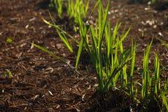 Zuckerrohrplantage Lizenzfreie Stockfotos