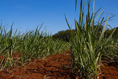 Zuckerrohrplantage Stockfotografie