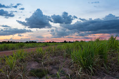 Zuckerrohrsonnenunterganglandschaft Stockfotos