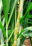 Zuckerrohrstämme und -blätter. Lizenzfreie Stockbilder