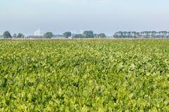 Zuckerschlagfeld in Friesland, die Niederlande Stockbild
