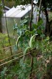 Zuckerverschlüsse, die im Garten steigen Lizenzfreies Stockfoto
