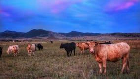 Zuckerwatte-Wolken und Kühe stockfoto