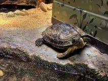 Zufällige Schildkröte stockfotos