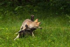 Zuffa di due Grey Wolf Pups (canis lupus) Immagini Stock Libere da Diritti